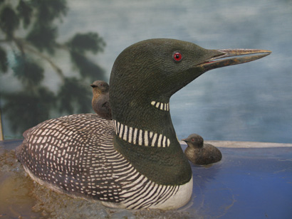 common loon. furnished with period